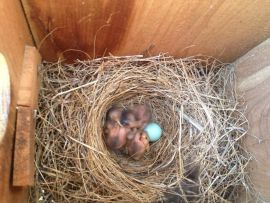 Baby birds at our Ozark bed and breakfast