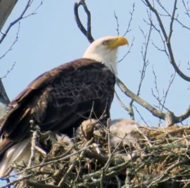 Bald Eagle in the Ozarks