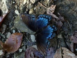 Butterfly in the Ozark Mountains