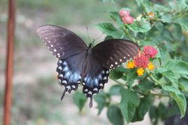 Butterfly near our Ozark bed and breakfast