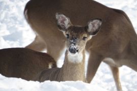 Deer in the snow at our Yellville lodge