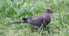 Dove nearby our Yellville Lodge
